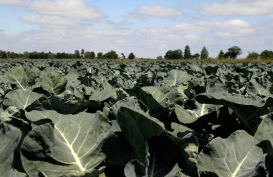 Beneforte broccoli growing in Lincolnshire