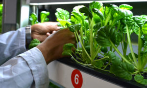 plants being grown to assess biofortification for personal nutrition in a vertical farming kitchen garden